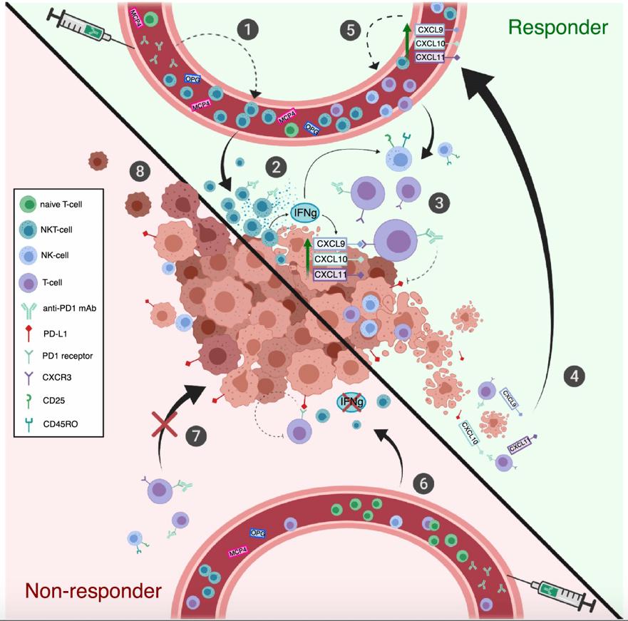 CXCL9  CXCL  CXCLI  oo  Responder  naive T-cell  NKr-cell  NK-cell  T-cell  anti-PDI mAb  PO-Ll  PDI receptor  CXCR3  CD25  CD45RO  Non-responder  CXCL9  CXCLI  CXCLI